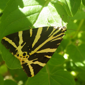papillon ecaille chinee