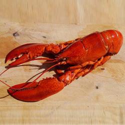 Homard canadien ou homard fran ais lequel choisir - Comment cuisiner le homard ...